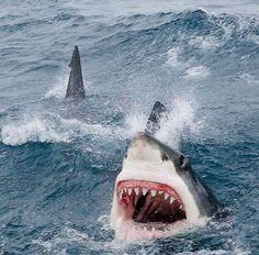 Shark Gif, Big Shark, Shark Cage, Shark Shark, Nurse Shark, Shark Pictures, Shark Photos, Orcas, Save The Sharks