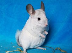 Pouky, chinchilla white, chinchilla wilson,chinchilla mosaïc