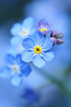 36 Trendy Flowers Blue Tattoo Forget Me Not Exotic Flowers, Amazing Flowers, Wild Flowers, Beautiful Flowers, Forget Me Nots Flowers, Bouquet Flowers, Flowers Nature, Simply Beautiful, Beautiful Pictures