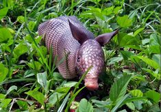 17 Images Of Adorable Baby Armadillos
