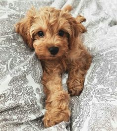 All About The Very Smart Poodle Pup Exercise Needs Cute Dogs And Puppies, Baby Dogs, I Love Dogs, Doggies, Baby Puppies, Cute Baby Animals, Animals And Pets, Funny Animals, Chien Mira