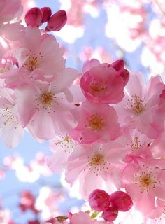 The Peach Blossom flower symbolizes the sweetness of life, loving life and being captivated or challenged with finding sweetness in your world. Peach blossom is of the heart chakra. Wonderful Flowers, My Flower, Pretty Flowers, Heart Flower, Flower Tree, Cactus Flower, Purple Flowers, White Flowers, Beautiful Things