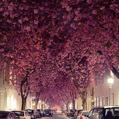 Cherry blossom trees, Bonn, Germany. Photo by @andredistel #TourThePlanet