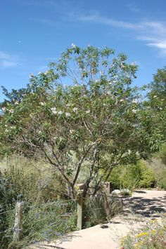 Chitalpa Tree Drought Tolerant White Or Pink Flowers No Messy Seed Pods Grows 20 30 Ft