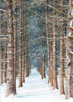 ✯ Winter Trees