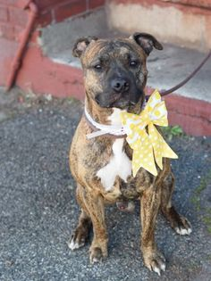 5/9/16 SL!! Brooklyn Center FORBIN – A1070310 MALE, BR BRINDLE, AMERICAN STAFF MIX, 2 yrs STRAY – STRAY WAIT, NO HOLD Reason STRAY Intake condition EXAM REQ Intake Date 04/14/2016, From NY 11433, DueOut Date 04/17/2016,