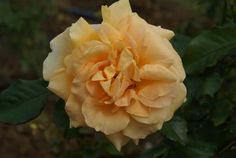 Courvoisier | Ludwigs Roses: Pointed, shapely buds & blooms appear in clusters or individually. Pleasing buff, straw yellow. Vigorous, healthy & prolific with well branched growth. Glossy foliage.