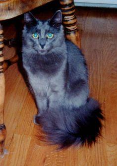 55 Best Cats Angora Images Angora Cats Turkish Angora Cat