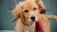 Golden Retriever Puppies: Cute Pictures And Facts - DogTime Super Cute Puppies, Cute Little Puppies, Cute Dogs And Puppies, Cockapoo Puppies, Terrier Puppies, Golden Retriever, Retriever Puppy, Funny Dog Pictures, Cute Pictures