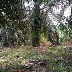 Beberapa tahun kedepan minyak nabati dunia akan bergantung pada INDONESIA. kita patut berbesar hati dan bangga.  #palmoil #sawit.indonesia #palm #palmoilindonesia #sawit #sustainable #renewableenergy