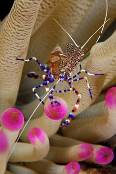 Spotted Cleaner Shrimp,photo by Barry B. Brown.