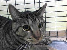 TO BE DESTROYED 5/10/14Brooklyn CenterMy name is WEDNESDAY. My Animal ID # is A0997819. UPDATE: ***SAFE*** Pulled by Feline Rescue of SI- Donation website: http://felinerescueofstatenisland.webs.com/