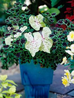 This is a simple pairing for a shady spot -- with just two plants   A. Caladium 'Gingerland' -- 1  B. Coleus (Solenostemon 'Inky Fingers') -- 1