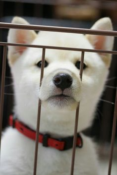 Puppy: Japanese Dog Shiba Inu|柴犬 You will be mine. Cute Puppies, Cute Dogs, Dogs And Puppies, Doggies, Corgi Puppies, Animals And Pets, Baby Animals, Cute Animals, Wild Animals