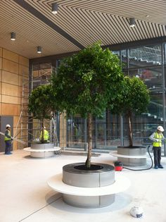 4m Ficus trees just planted into circular stainless steel planter/bench in new Wembley offices, London  www.indoorgardendesign.com