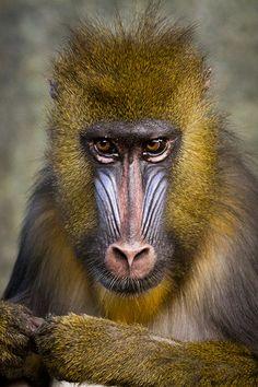 Mandrill - http://www.facebook.com/pages/Pour-la-protection-des-animaux-et-de-la-nature/120423378016370