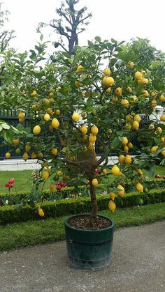 Citrus Garden, Vegetable Garden Design, Edible Garden, Garden Pots, Fruit Plants, Bonsai Plants, Fruit Trees, Container Plants, Container Gardening