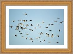 Snow Geese Framed Print by Bonfire #Photography