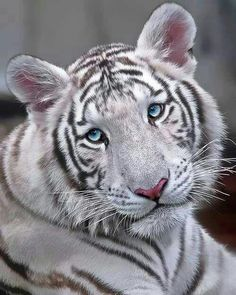 White Tiger with beautiful eyes;;))