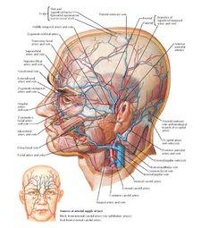 Human Head And Neck Anatomy Anatomy Human Head Anatomy Of Human Neck Anatomy Human Body Facial Anatomy, Head Anatomy, Human Anatomy Drawing, Brain Anatomy, Human Body Anatomy, Human Anatomy And Physiology, Medical Anatomy, Muscle Anatomy, Arteries Anatomy