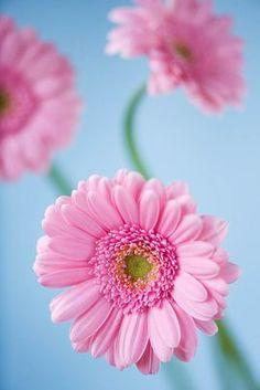 gerbera licht roze