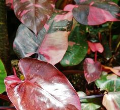 red leaf philodenderon philodendron erubescens has reddish purple stems and large coppery red. Black Bedroom Furniture Sets. Home Design Ideas