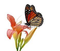 papillon fleur: Journée Lily et papillon monarque isolé sur blanc