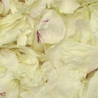 Winter White/Wine Peony Petals VERY POPULAR! Petals are all natural & freeze dried  Non-staining, not slippery. All natural, eco-friendly & biodegradable!   Flyboy Naturals Grows thousands of peonies for our petal production www.flyboynaturals.com #rosepetals #flyboynaturals #petals #wedding #ivorypetals  #weddingpetals #aisle #bridetobe #ceremony #winterwhite
