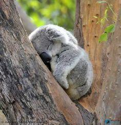 Cute Koala sleeping in a tree! Cute Little Animals, Cute Funny Animals, Cute Dogs, Cute Babies, Funny Koala, Baby Animals Pictures, Cute Animal Pictures, Tier Fotos, Fluffy Animals