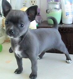 Blue Belle | Apple Head Chihuahua #Puppies aaaahhh!!!! I want one!!!!