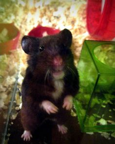 our old man, Sheldon, the black syrian hamster, rest in peace baby (can't believe I pinned this a year ago