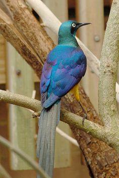 キンムネオナガテリムク Golden-breasted Starling, Royal Starling (Lamprotornis regius, Cosmopsarus regius)