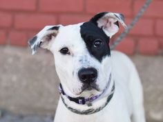 GONE - 03/20/15 --- TO BE DESTROYED - 03/20/15 Brooklyn Center*  My name is DONALD. My Animal ID # is A1030137. I am a male white and black pit bull mix. The shelter thinks I am about 1 YEAR   I came in the shelter as a STRAY on 03/12/2015 from NY 11234, owner surrender reason stated was STRAY.  https://www.facebook.com/photo.php?fbid=979931115353101