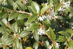 Scented, Aromatic, Fragrant Shrubs and Garden Plants: Osmanthus x burkwoodii Sensory Garden, Garden Plants, Blind, Shrubs, Plant Leaves, Rose, Flowers, Outdoor, Outdoors