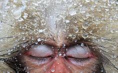 fotos monos de nieve por jasper doest snow monkies