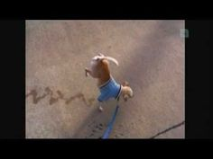 Very funny dog peeing while walking on two legs - YouTube