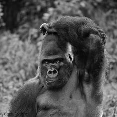 Funny Wildlife, Mono Gorilla, Paignton Zoo by chriswilson4646 on...
