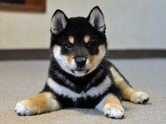 Shiba-- I WANT YOU!!