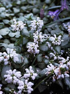 Deadnettle - Plant Encyclopedia - BHG.com 'White Nancy' lamium Lamium maculatum 'White Nancy' bears 1-inch triangular silver leaves rimmed in emerald. From spring onward, dense whorls of two-lip clean-white flowers appear at the tips of the stems. Deadhead for prolonged blooming. Zones 4-8