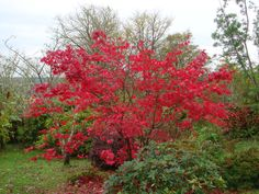 Our Japanese maple (Acer Palmatum 'Sherwood Flame') at its best!