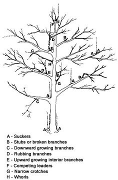 PRUNING APPLE TREES:  First Winter: If there has been a lot of new growth, choose 3 to 5 branches for the first set of scaffold branches. These branches should spiral around the trunk with about 4 inches vertical distance between each branch. Cut off the other side branches and any vertical branches that may compete with the leader. Prune back the main leader shoot, but keep it as the highest part of the tree to maintain your pyramid shape.