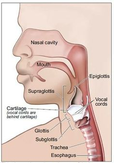 This picture shows the main parts of the larynx—the supraglottis, glottis, and subglottis. Head Anatomy, Human Body Anatomy, Human Anatomy And Physiology, Speech Language Therapy, Speech And Language, Speech Therapy, Radiology Student, Voice Therapy, Articulation Therapy