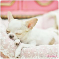 Chihuahua Care - 5 Important Issues Every Owner Should Know - Dog Pets Zone Teacup Chihuahua, Chihuahua Puppies, Cute Puppies, Cute Dogs, Chihuahuas, Yorkie, Puppies And Kitties, Doggies, Designer Dog Clothes