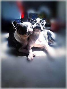 Aren't They Cute?! Repin this Boston Terrier Dogs Love! Like us at : https://www.facebook.com/bterrierdogs