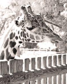 #charentemaritime #zoo #lapalmyre #girafe