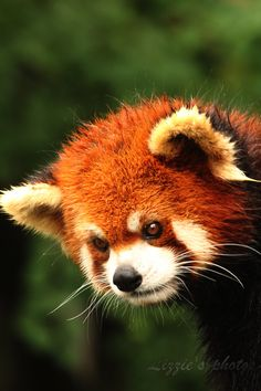 Red Panda - It Rained :C by Lizziesphotos. ☚