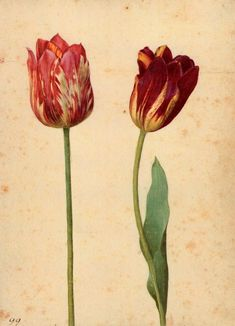 Georg Flegel (German, 1566 - 1638) - Two Tulips III