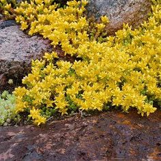 Grow Sedum Acre seeds for a lovely yellow flowered Stonecrop ground cover plant. Stonecrop ground cover seed can be started either indoors or directly outdoors. Sedum Ground Cover, Ground Cover Flowers, Perennial Ground Cover, Ground Cover Plants Shade, Ground Cover Seeds, Rock Garden Plants, Shade Garden, Lawn And Garden, Outdoor Plants