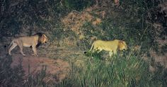 Male lions walking in front of our tent at Lower Sabie camp Lion Images, Night Photography, Wildlife Photography, Kruger National Park, National Parks, Cool Pictures, Cool Photos, Male Lion