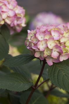 The BloomStruck bigleaf hydrangea from Endless Summer has the ability to change the blooms' color depending on soil pH. Hydrangea Shrub, Hydrangea Colors, Hydrangea Care, Hydrangea Macrophylla, Hydrangea Flower, Hydrangeas, Endless Summer Hydrangea, Hydrangea Not Blooming, Hydrangea